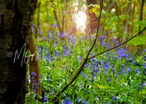 Bluebell Grotto