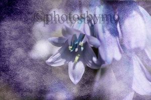 Bluebell with Texture
