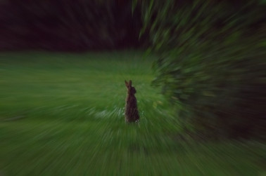 Blurred Hare