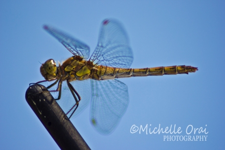 Dragonfly1`