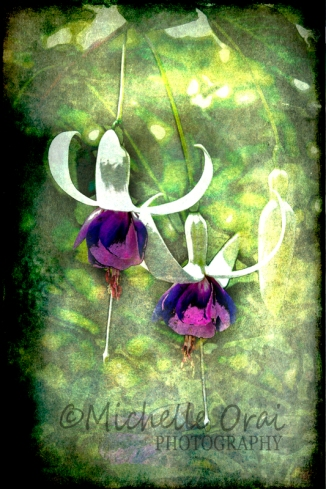 Fuschias or Fairies