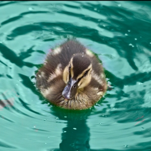 Little Duck on Blue water