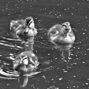 Three black and white ducklings